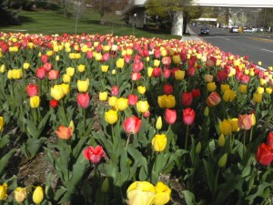 Tulips at the 2011 BYU Women's Conference
